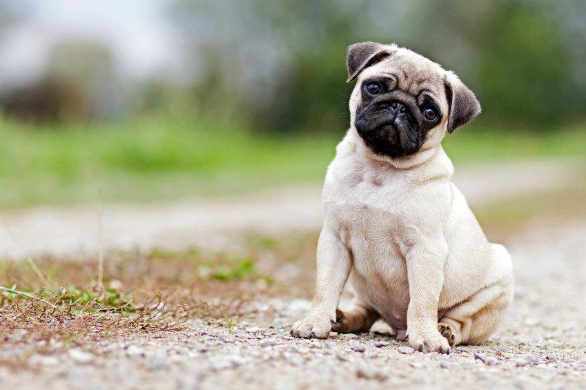 Мопси - собаки, які стануть справжніми друзями для всіх членів сім'ї, фото-1